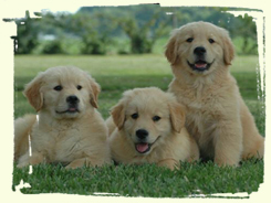 Golden retriever puppies for sale st louis